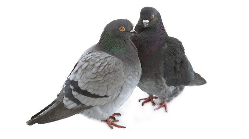 Contractors Should Stop Pigeon Advertising